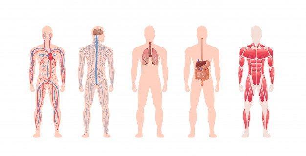 impostare-il-sistema-di-organi-interni-del-corpo-umano-struttura-del-muscolo-nervoso-circolatorio-anatomia-fisiologia-vista-frontale-lunghezza-orizzontale_48369-23637